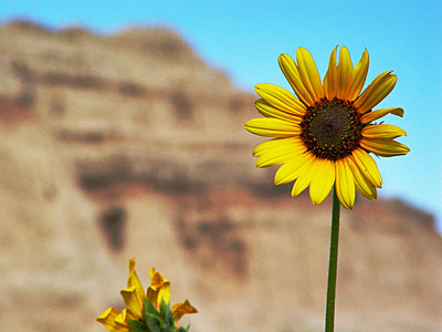 Flower at the Badlands
